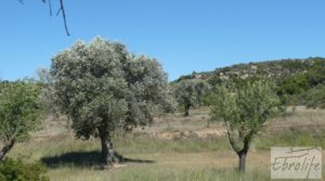 Foto de Olivar con masía típica en Maella ♘☼❀☺ por 19.000€