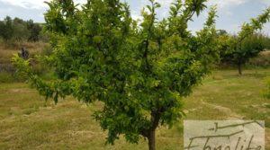 Finca de arboles frutales y olivos en Maella a buen precio con piscina