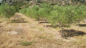Finca de arboles frutales y olivos en Maella a buen precio con piscina por 49.900€