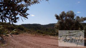 Detalle de Finca de olivos autóctonos en Calaceite con buen acceso