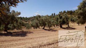 Finca de olivos autóctonos en Calaceite a buen precio con privacidad