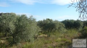 Vendemos Olivar en la huerta de Caspe. con regadío por 10.000€