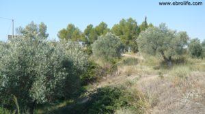 Torre en la Zaragozeta Caspe en oferta con olivos