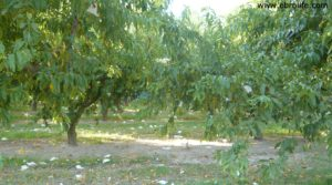 Terreno de huerta en Caspe en venta con huerta