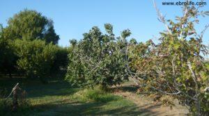 Terreno de huerta en Caspe en venta con frutales