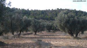 Olivar Con Masía en Maella en venta con olivos centenarios por 56.000€
