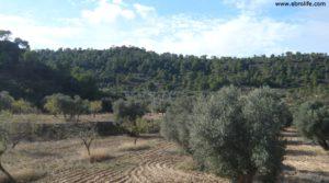 Detalle de Olivar Con Masía en Maella con pinares por 56.000€