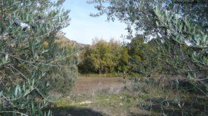 Detalle de Soto en Caspe con olivos