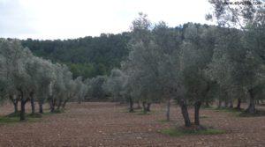 Olivar en el rio Tastavins en Fuenteespalda a buen precio con bosques