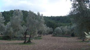 Olivar en el rio Tastavins en Fuenteespalda en venta con bosques