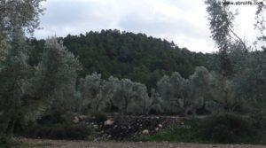 Foto de Olivar en el rio Tastavins en Fuenteespalda con bosques por 105.000€