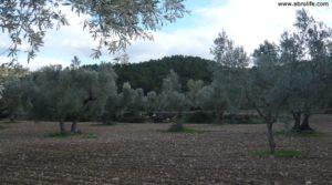 Detalle de Olivar en el rio Tastavins en Fuenteespalda con pozo de agua por 105.000€