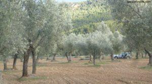 Vendemos Olivar en el rio Tastavins en Fuenteespalda con bosques por 105.000€
