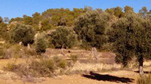 Se vende Olivar con casa de piedra en Maella. con tranquilidad