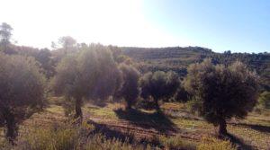 Detalle de Olivar con casa de piedra en Maella. con tranquilidad por 23.000€