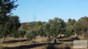 Foto de Olivar centenario en Maella. en venta con excelente acceso. por 16.000€