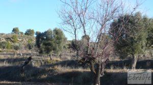 Olivar centenario en Maella. en venta con excelente acceso. por 16.000€