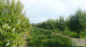 Estupenda finca de regadío en Caspe con almendros y frutales. a buen precio con agua y electricidad por 72.000€