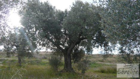 Huerta de olivos en Caspe.